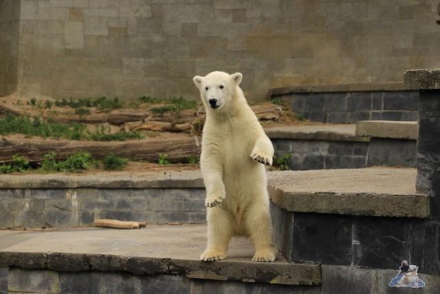Eisbär Fiete im Zoo Rostock 11.07.2015  0127