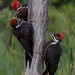 Pileated woodpeckers by Phiddy1