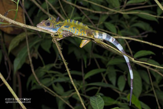 Great anglehead lizard (Gonocephalus grandis) - DSC_5678