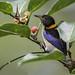 Iridophanes pulcherrimus - Golden-collared Honeycreeper - Mielerito Collarejo - Mielero Opalino 02 by jjarango
