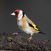 Goldfinch by Willbury not about much.