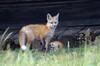 Red Fox Kits (Vulpes vulpes) DDZ_7407 by NDomer73