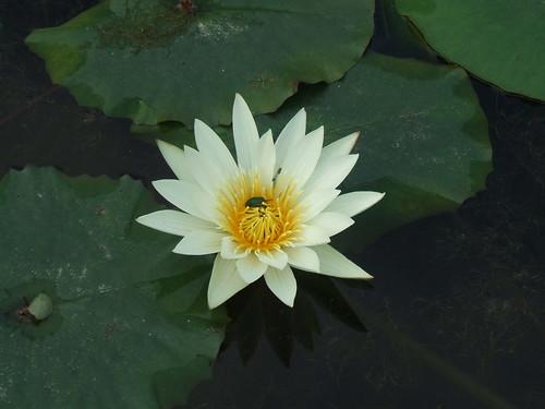 あしかがフラワーパーク_蓮の花
