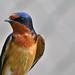 Pretty Swallow