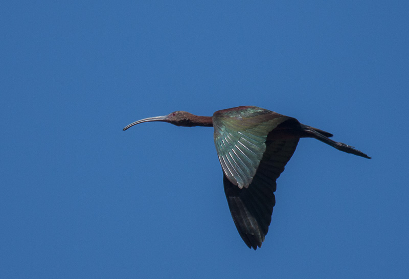 White-Faced Ibis (Plegadis chihi) flying over Laguna Lake in Beautiful San Luis Obispo, California