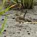 Small photo of Seaside Sparrow (Ammodramus maritimus) -- Plumb Beach