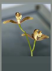 Cymbidium erythraeum species orchid, 1st bloom continues   12-16*