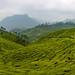 Tea plantation outside Top Station by (jimnealephoto@gmail.com)