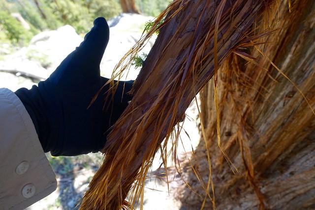 Shaggy juniper tree bark