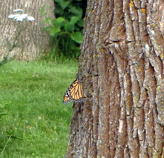 monarch butterfly on tree trunk