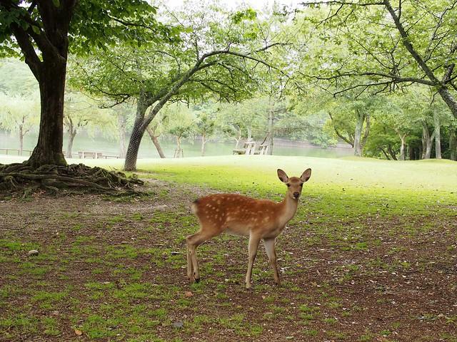 P6110748 park deer