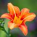 Hemerocallis (Daylily) by saeah_lee