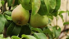 branch, pear, fruit,