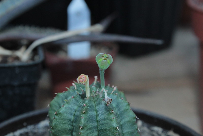 Euphorbia obesa x meloformis - Page 2 20353443441_59293c25b8_c