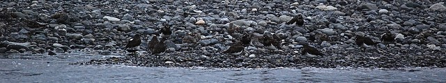 Black Turnstone & Surfbird