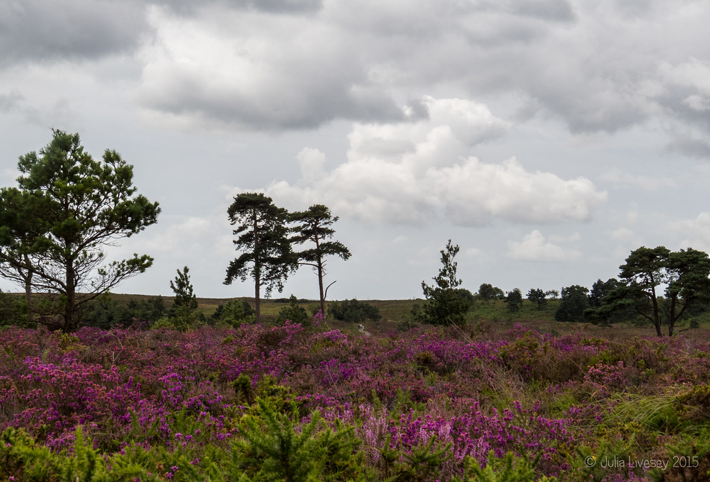 Heather in bloom on Canford Heath