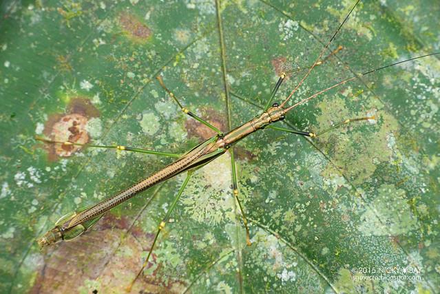 Stick insect (Phasmatodea) - DSC_5524