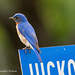 Bluebird on a blue street sign