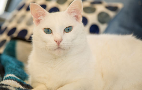 deaf-white-cats
