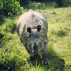grass, rhinoceros, fauna, wildlife,