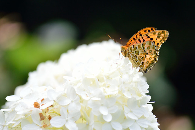ミドリヒョウモン Silver-washed Fritillary