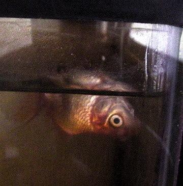 Dead Goldfish