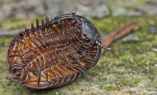 Pill millipede (Sphaerotheriida)