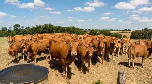 Cow panorama