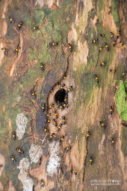 Ants (Crematogaster inflata) - DSC_5617