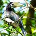 Oriental Pied Hornbill by kent68van69