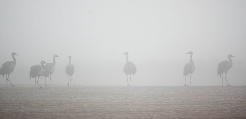 Gallocanta dans la brume (Aragon/Espagne)