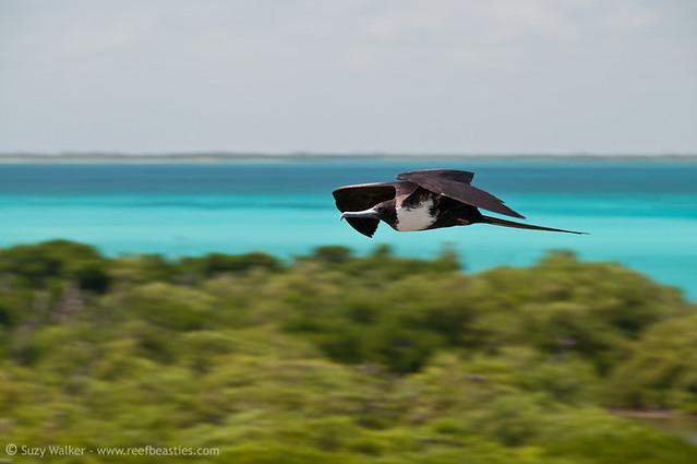 frigate bird in flight 2