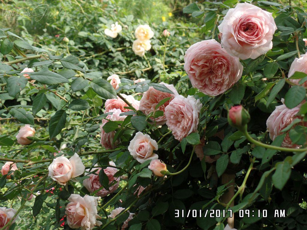 Hồng leo Abraham Darby rose : có bao nhiêu tược non là sẽ có bấy nhiêu hoa sẽ nở