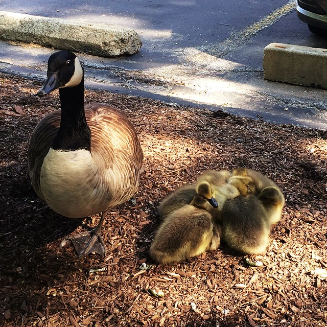 A gosling snuggle pile turns a frustrating morning into an amazing morning. #charlesriver #commute #sasakidesign