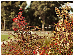 Nandina tree with winter berries and flowers