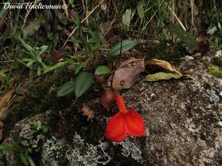 Masdevallia racemosa