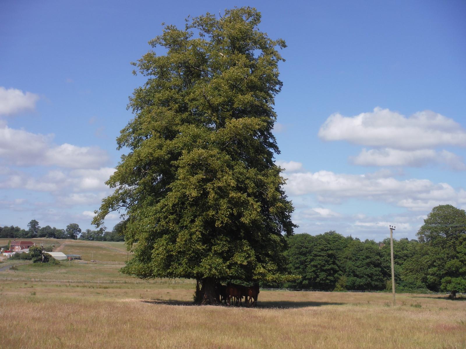 Horses under Tree, Burton Park SWC Walk 217 Midhurst Way: Arundel to Midhurst