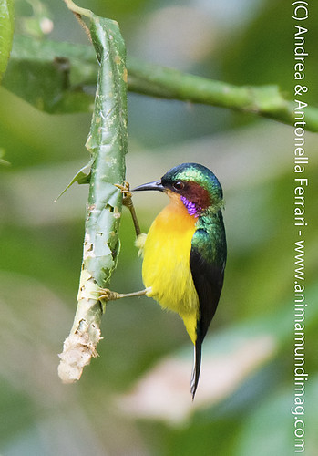 reefwondersdotnet posted a photo:	Ruby-cheeked sunbird Anthreptes singalensis, Hoollongapar Gibbon Wildlife Sanctuary (GWS), Assam, North-eastern India