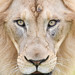 african lion closeup by Mark Dumont