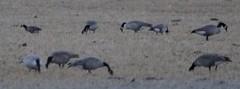 Cackling Goose (B. h. minima)