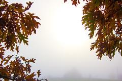 Oak Leaves in The Fog