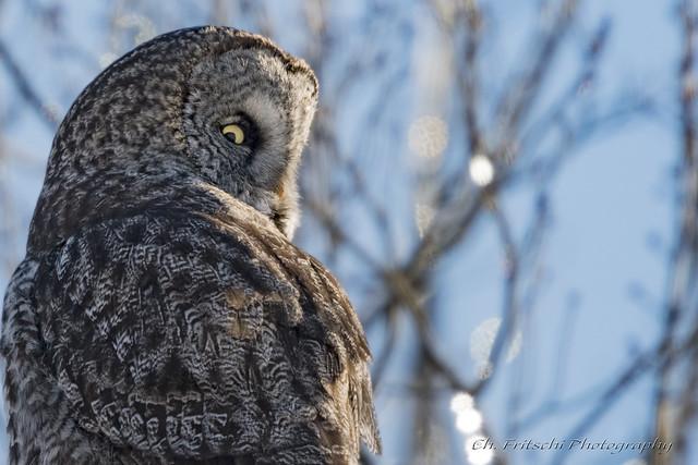 Great Gray Owl / Chouette Lapone / Strix nebulosa