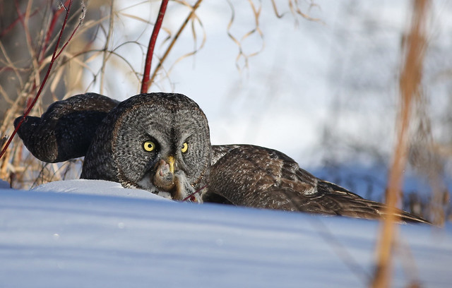 Great Gray Owl... 26, Canon EOS 5D MARK III, EF400mm f/5.6L USM