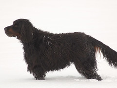 dog breed, animal, dog, boykin spaniel, pet, field spaniel, american water spaniel, carnivoran,