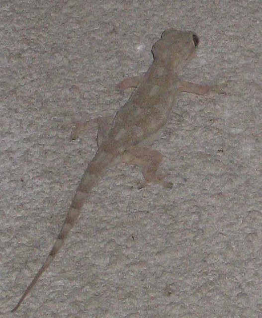 Gecko 2 Im Not Sure If This Guy Is The Same Flavor As The Flickr