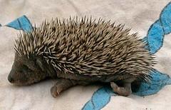 animal, porcupine, domesticated hedgehog, monotreme, erinaceidae, fauna,