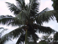 arecales, borassus flabellifer, coconut, branch, tree, plant, produce,