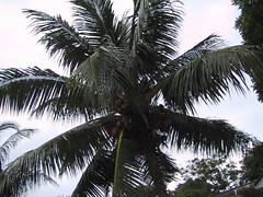 date palm(0.0), elaeis(0.0), arecales(1.0), borassus flabellifer(1.0), coconut(1.0), branch(1.0), tree(1.0), plant(1.0), produce(1.0),