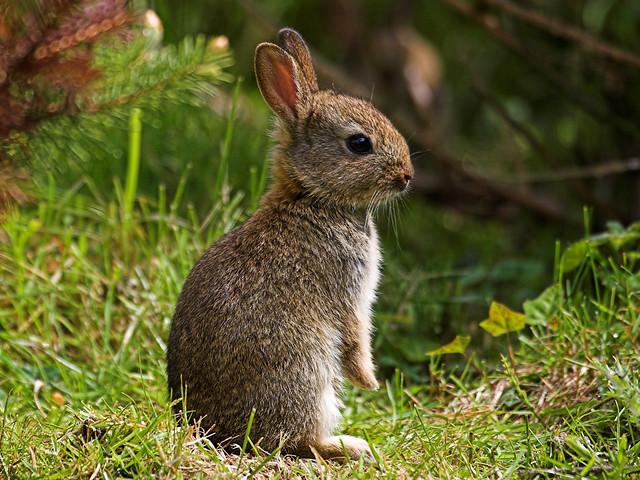 Baby English wild rabbit | Flickr - Photo Sharing!