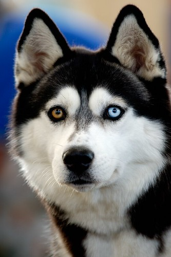 Siberian husky i have decided to make this image available flickr photo sharing - Pictures of siberian huskies ...